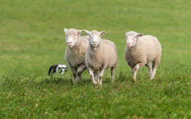 如何养羊?