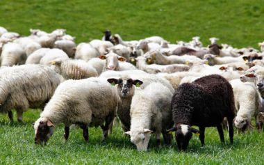 农户养羊应注意的问题