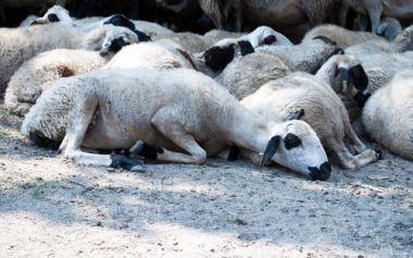 养羊预防措施: